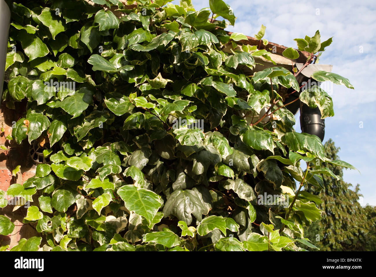 A kitchen wall covered in ivy growing over, and blocking, a gas boiler flue - Stock Image