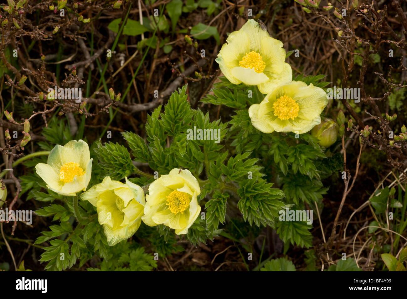 Alpine Pasque Flower, yellow form, Pulsatilla alpina ssp. apiifolia ...