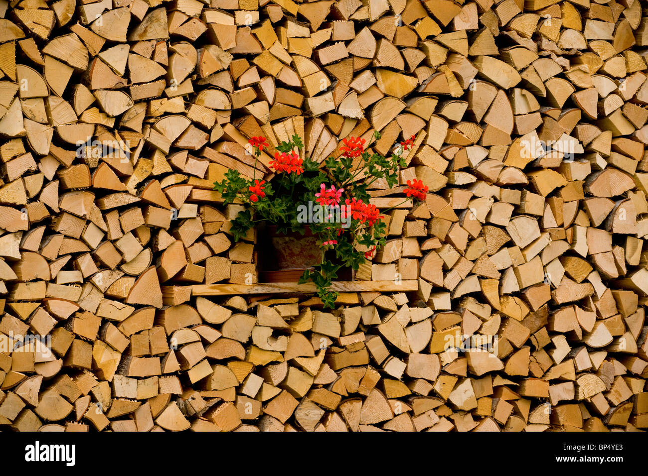 Geraniums (Pelargonium) in the middle of wood collected for winter; Wengen. Switzerland. - Stock Image