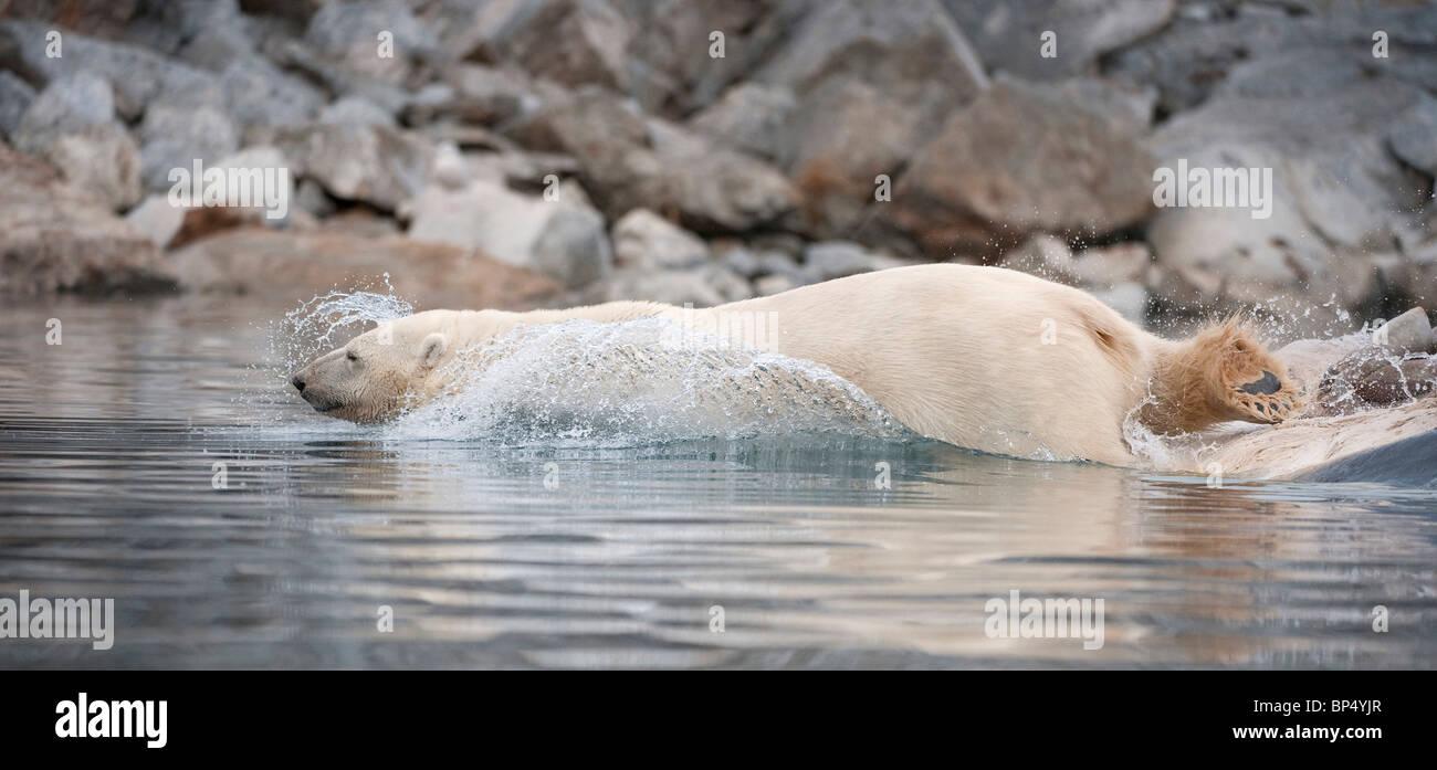 Polar Bear (Ursus maritimus, Thalarctos maritimus) diving into water. Svalbard, Norway. - Stock Image