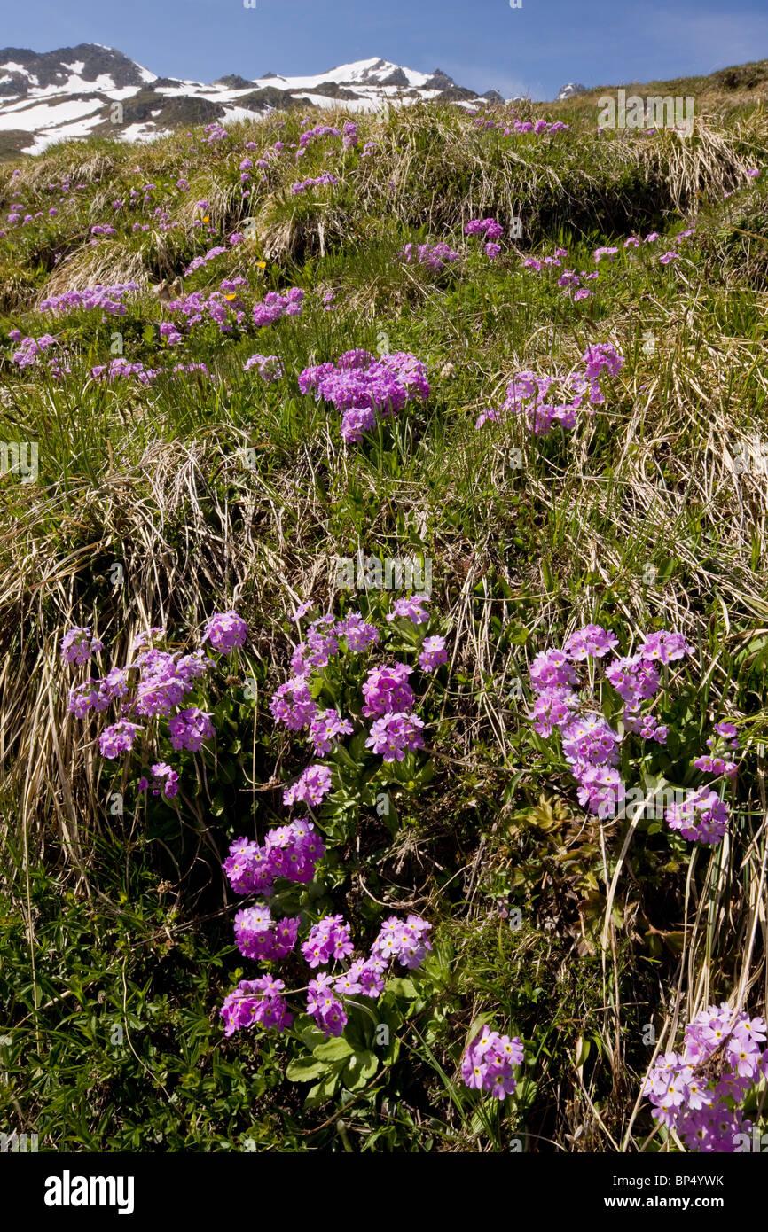 Mass of Bird's Eye Primrose, Primula farinosa in the Swiss Alps. Stock Photo