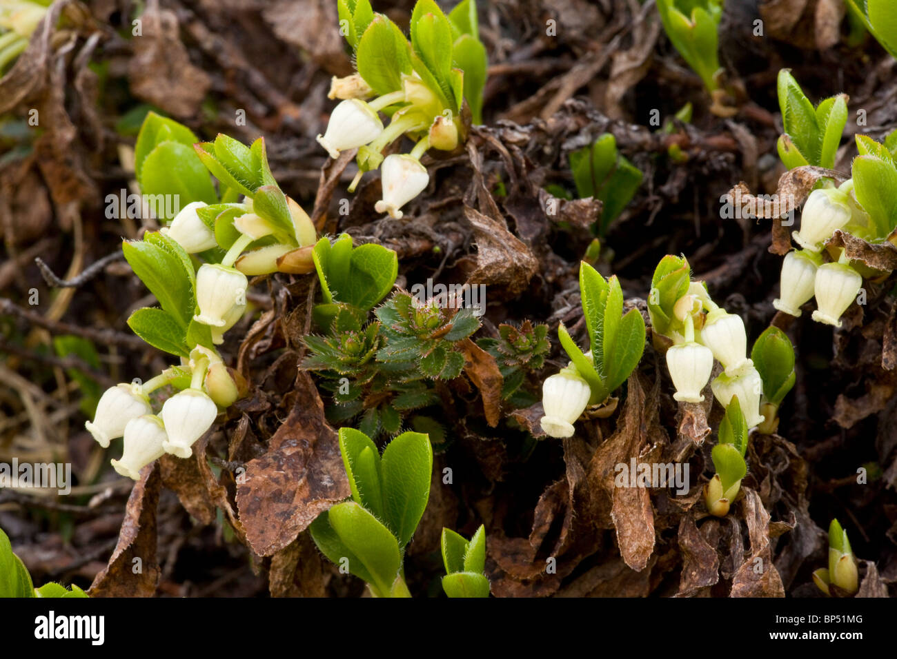 Arctic Bearberry, Arctostaphylos alpinus = Arctous alpinus in flower. Rare in northern Britain. Stock Photo