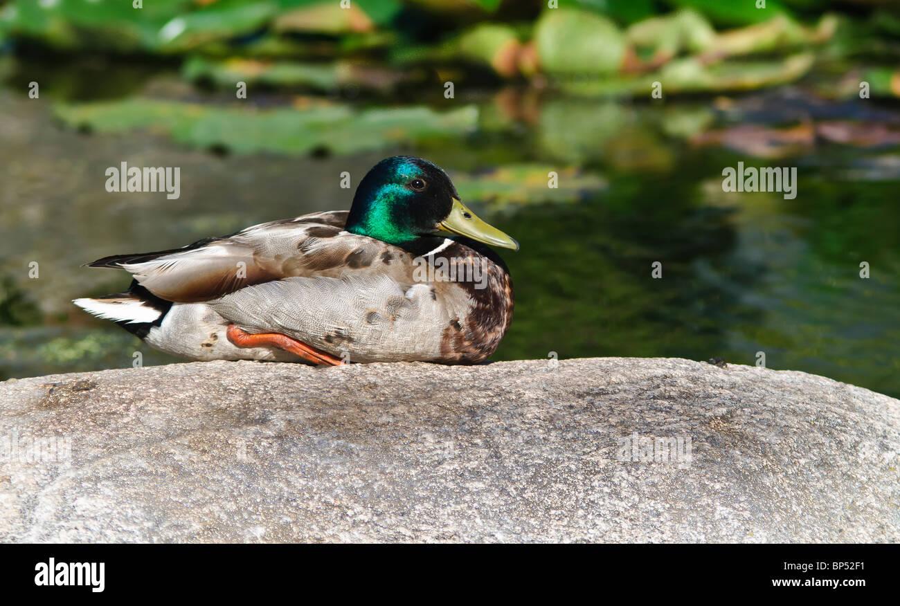 Mallard Duck sitting on a boulder. - Stock Image