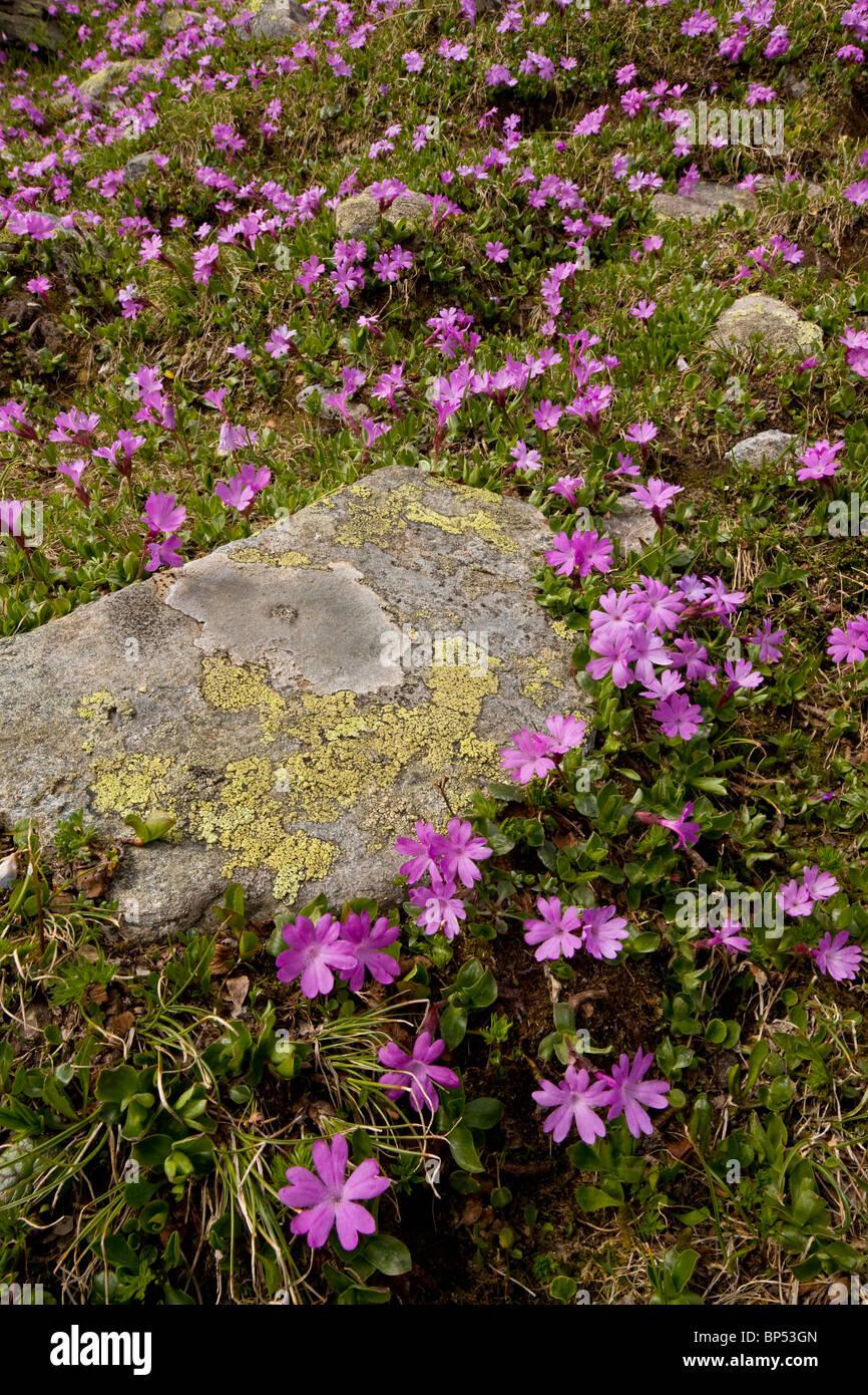 Entire-leaved primula, Primula integrifolia in masses on the Fluella Pass, east Swiss Alps. - Stock Image