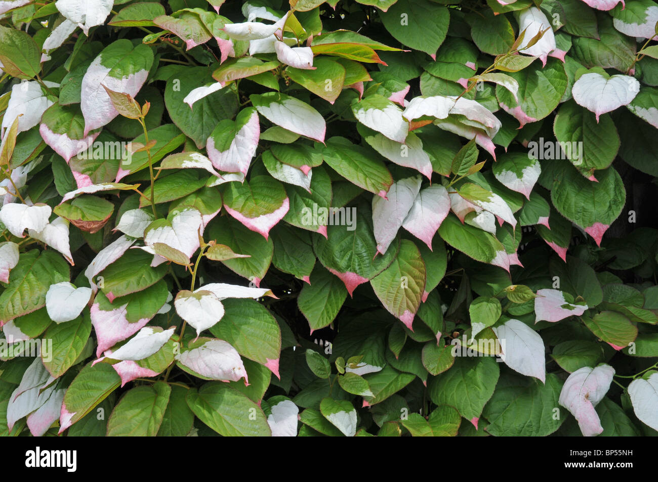 Leaves of Actinidia kolomitka. Emerge with white 'splashes' which become pink. - Stock Image
