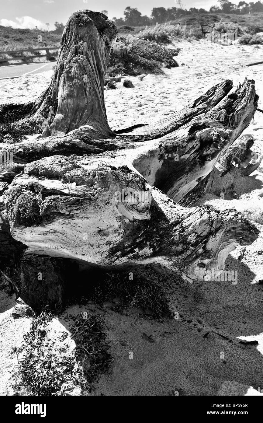 Close up wide-angle view of beautiful driftwood on beach, Monochrome, black and white, B&W - Stock Image