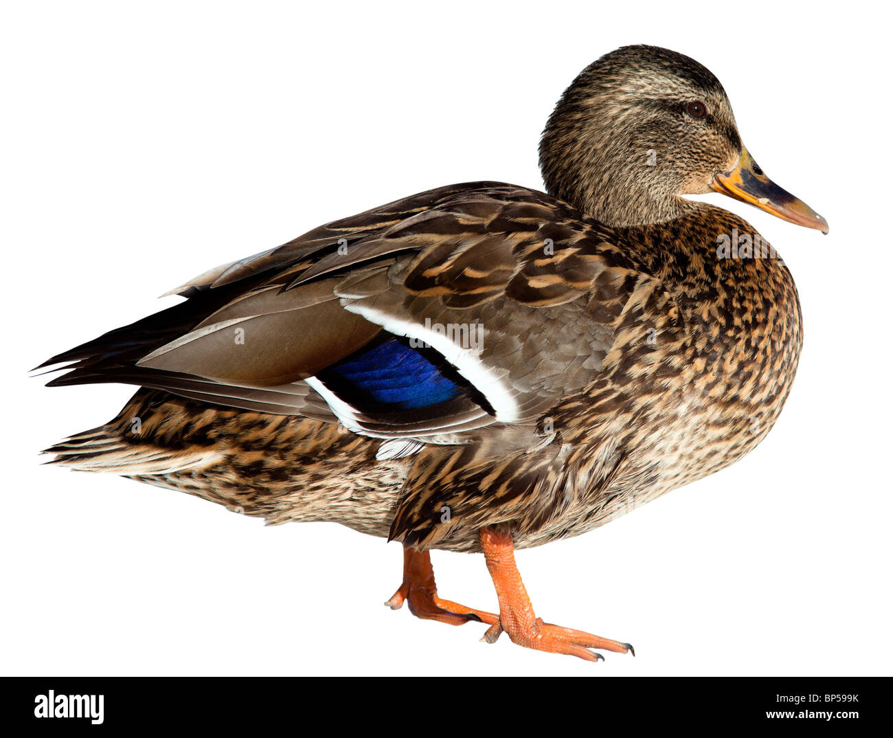 The Mallard (Anas platyrhynchos) in front of white background, isolated. - Stock Image