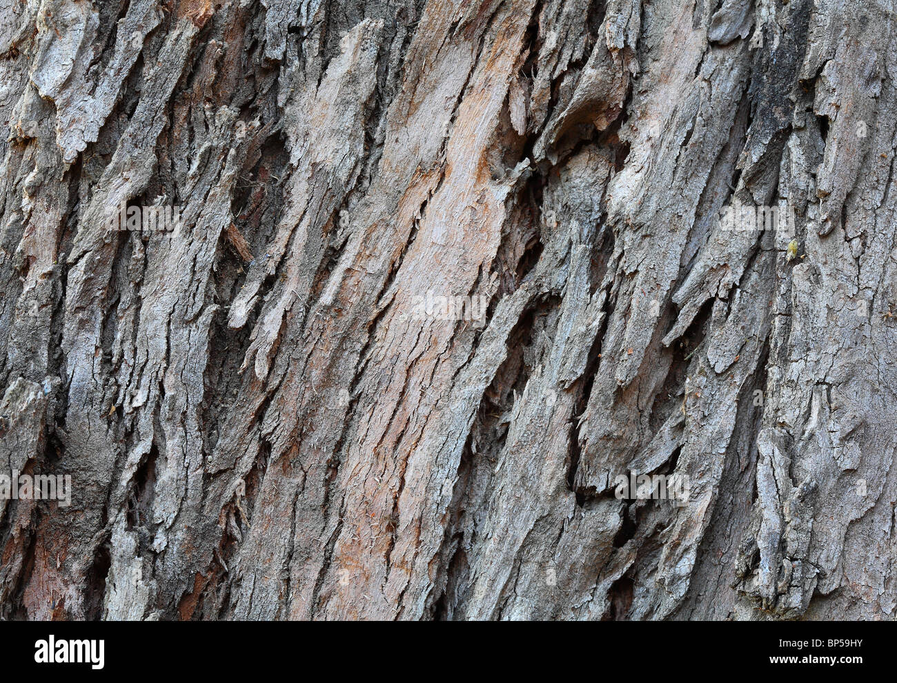 Macro shot of eucalyptus tree bark texture for use as natural background - Stock Image
