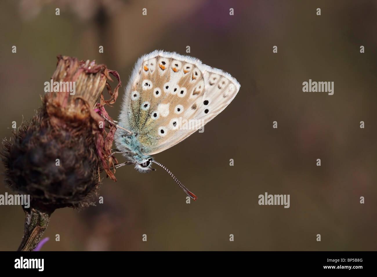 Chalkhill Blue Butterfly - Lysandra coridon.  Taken at Broadcroft Quarry, Portland, Dorset - Stock Image