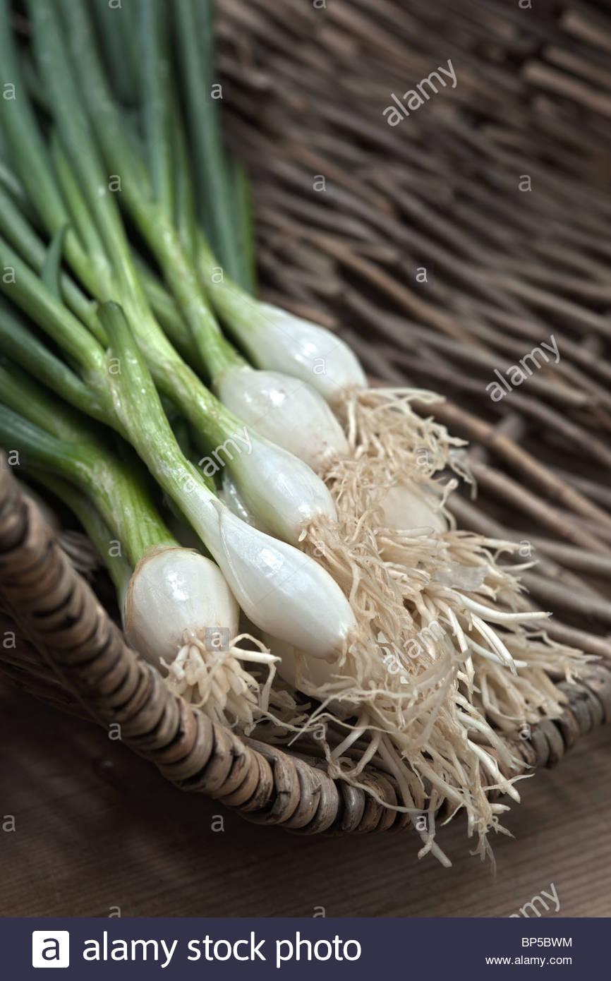 bunching sprng onion Performer summer salad vegetable root greens white edible kitchen garden plant pulled picked - Stock Image