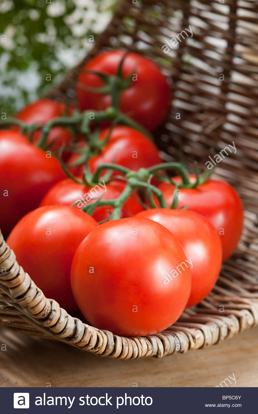 tomato Blight Resistant Duo summer salad vegetable red orange edible kitchen garden plant picked table trug August - Stock Image