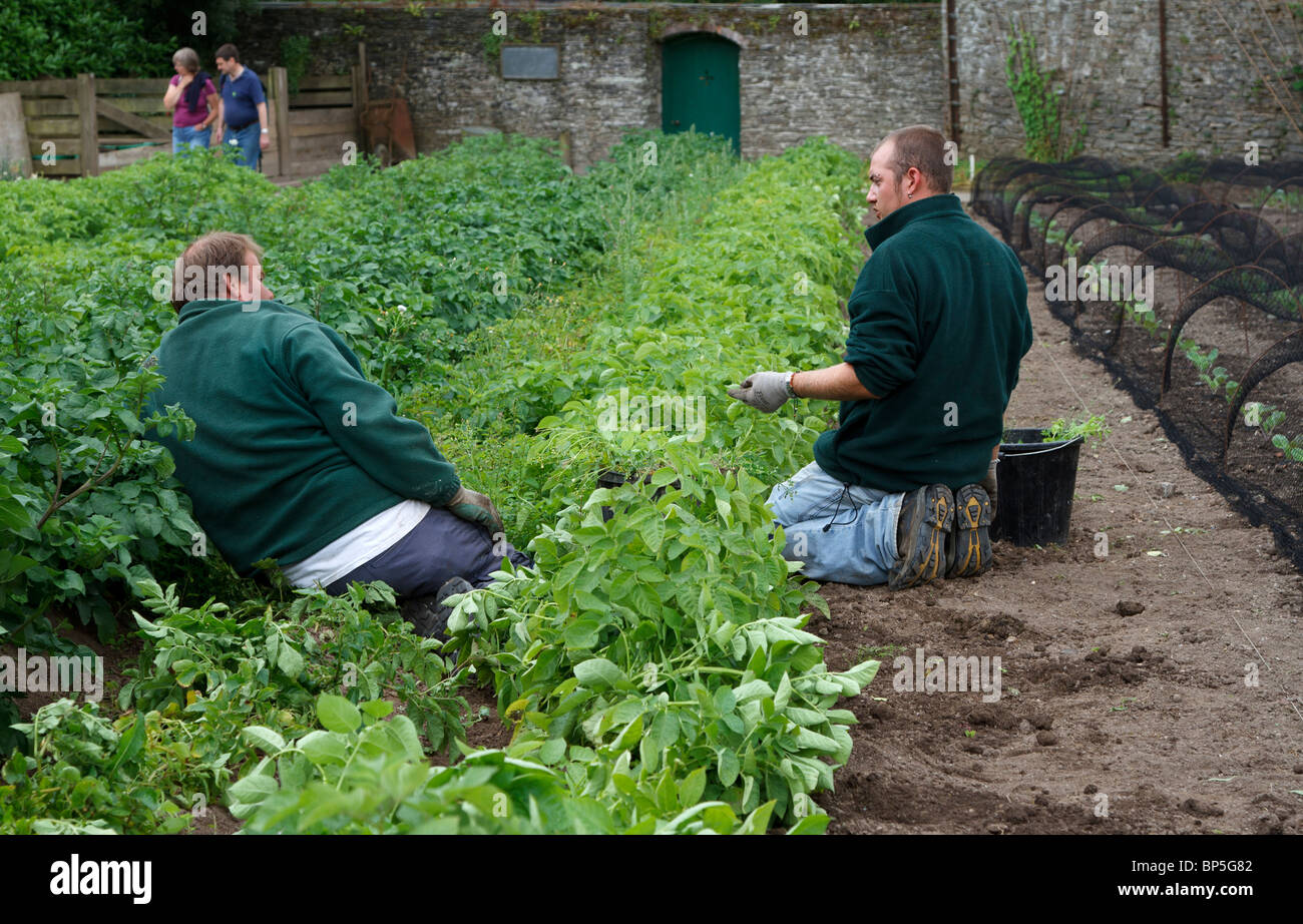 Gardeners pause while weeding vegetable beds - Stock Image