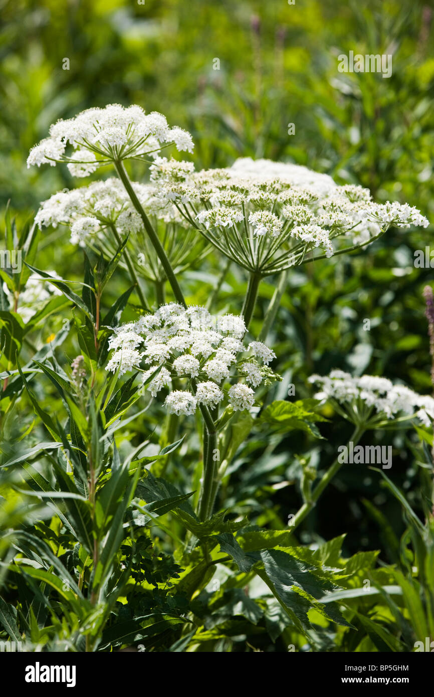 Ligusticum porteri(Loveroot) Apiaceae (Parsley Family) near Gothic Road, Crested Butte, Colorado, USA - Stock Image