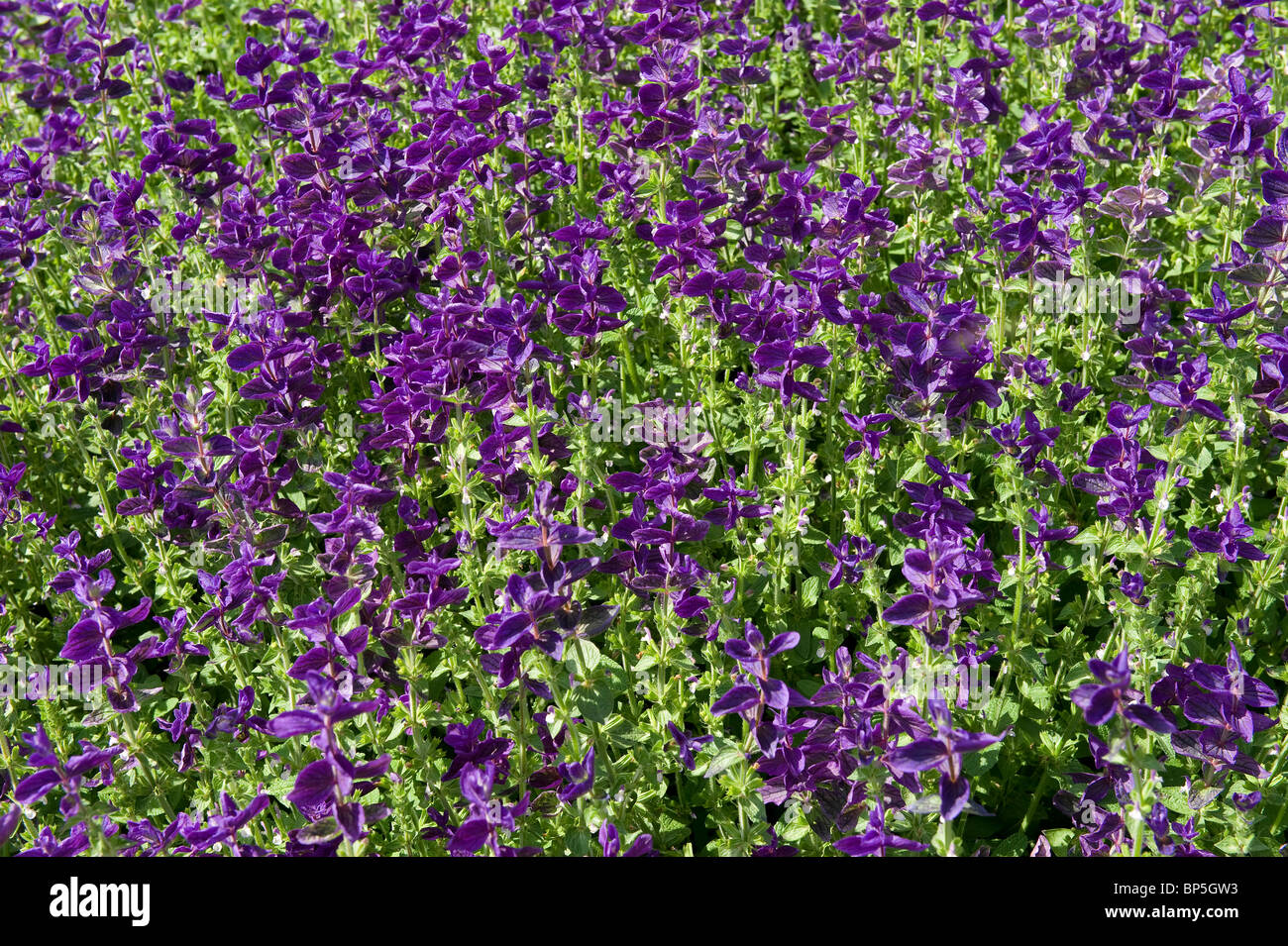 purple salvia flowers in english cottage garden - Stock Image