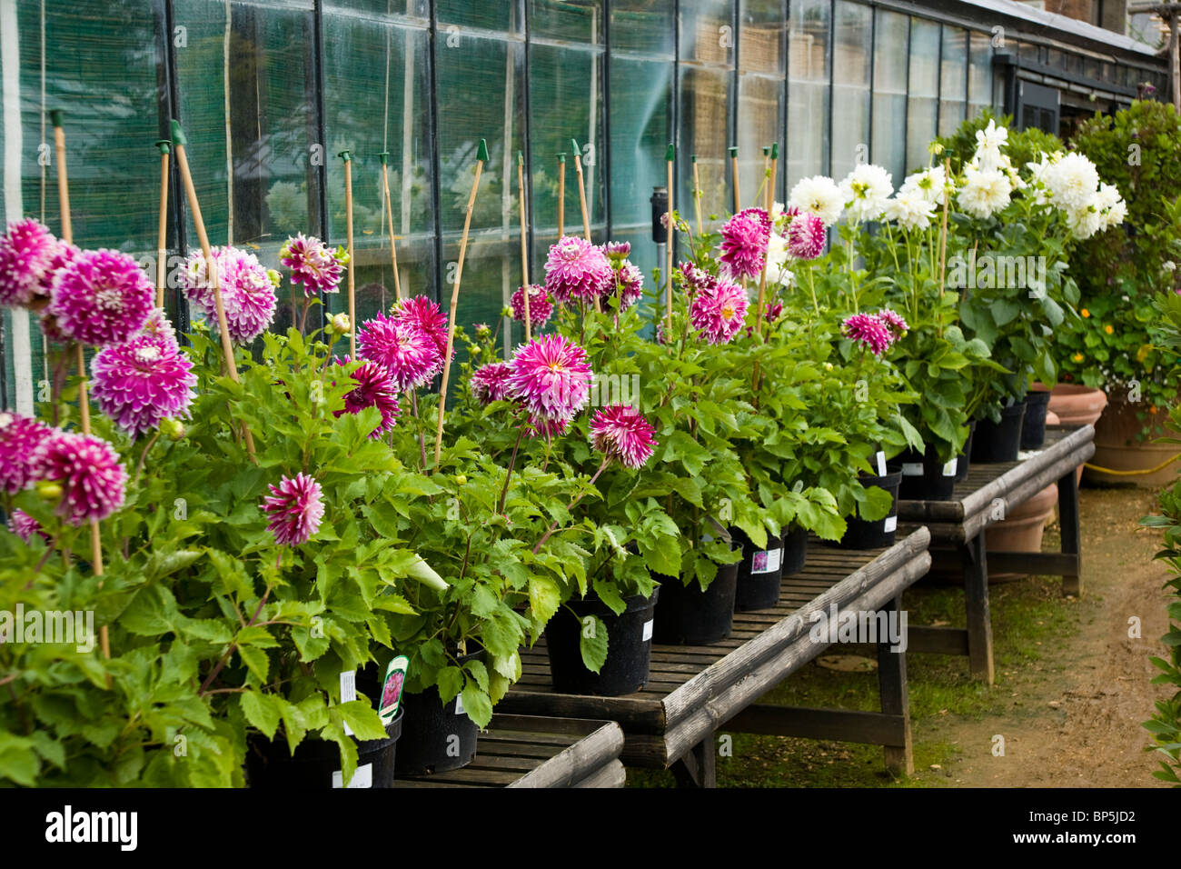 Pink And White Dahlia Flower Flowers Plant Plants For Sale At Stock Photo Alamy