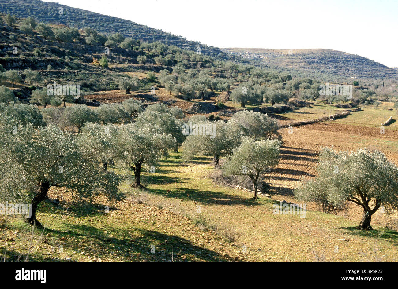 4702. GOPHNA -TOWN IN SAMARIA, NORTH OF JERUSALEM, EXISTING FROM THE HELENISTIC PERIOD ONWARDS. GREAT OLIVE GROWING - Stock Image