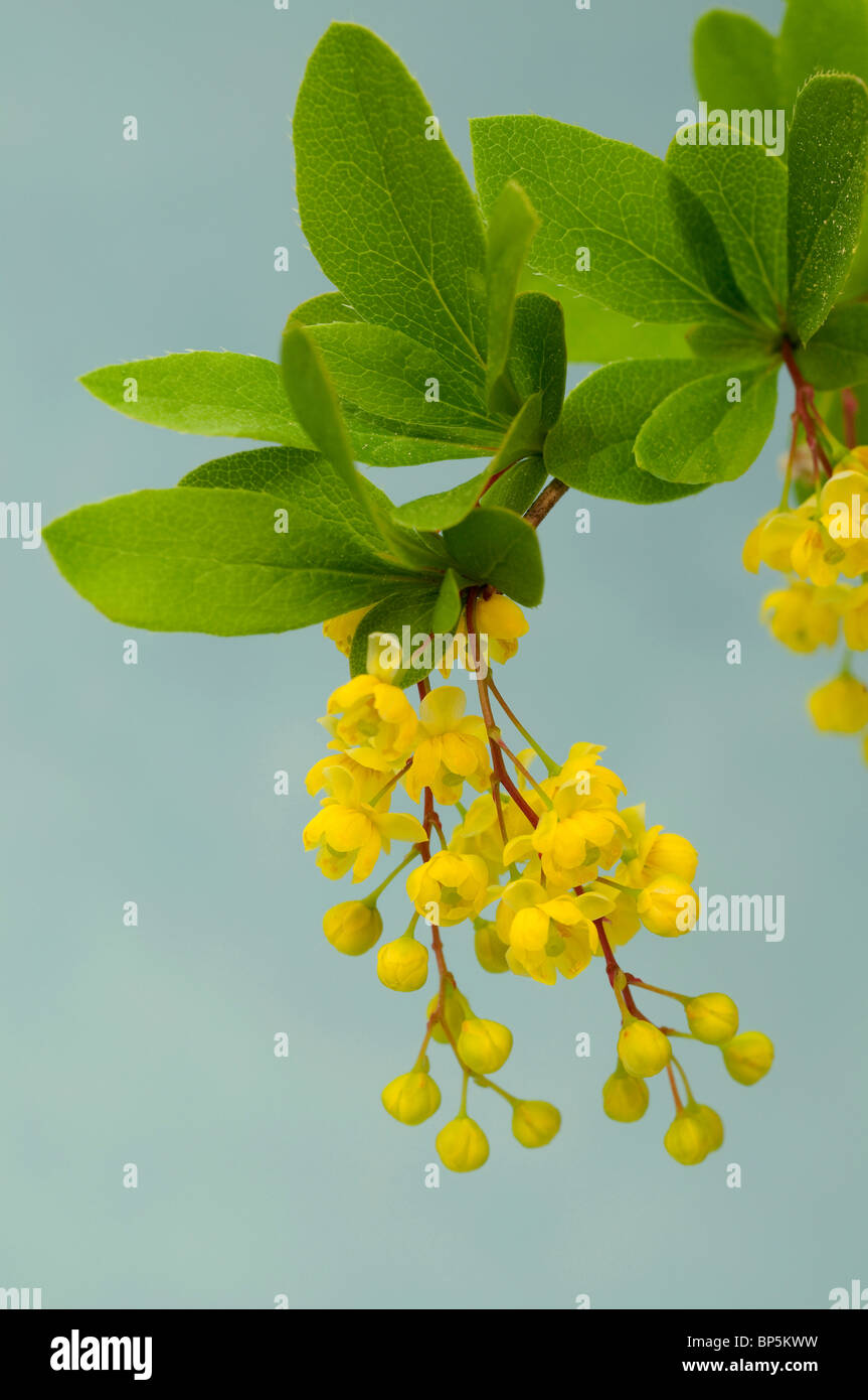 European Barberry (Berberis vulgaris), flowering twig, studio picture. - Stock Image