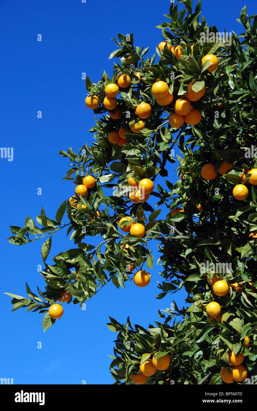 Seville orange tree, Riviera del Sol, Mijas Costa, Costa del Sol, Malaga Province, Andalucia, Spain, Western Europe. Stock Photo