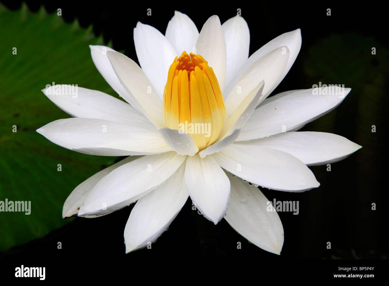 Lotus flower stock photos lotus flower stock images alamy indonesia java near borobodur lotus flower stock image izmirmasajfo