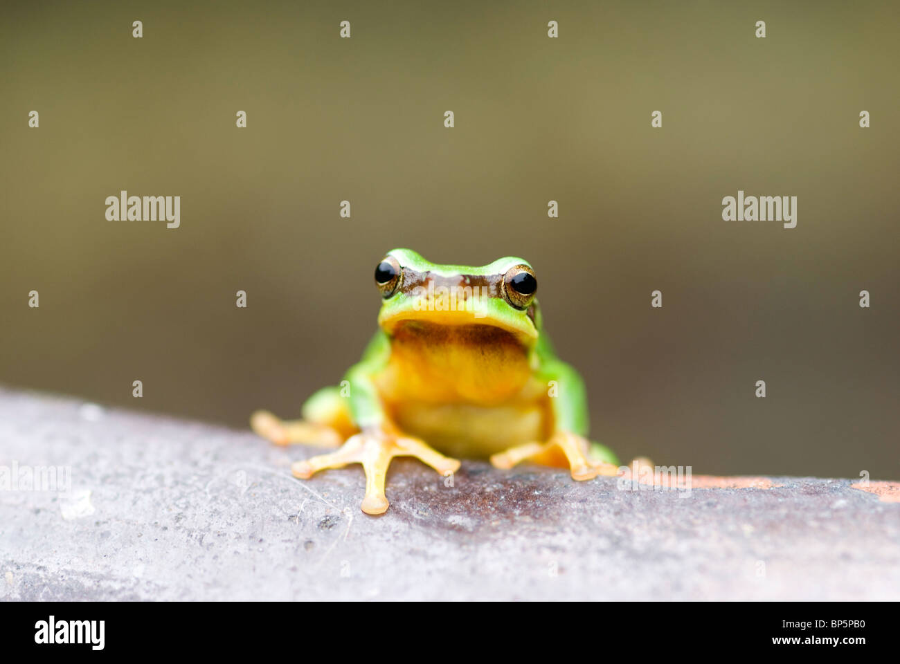Tree frog (Hyla chinensis) on Chinese pottery. - Stock Image