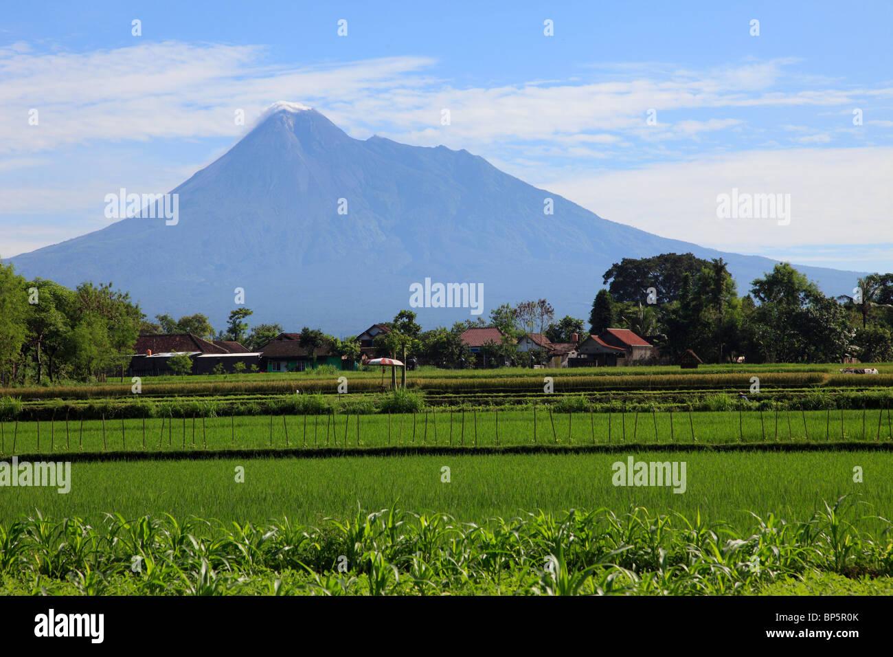 Indonesia, Java, Gunung Merapi volcano; rice field; - Stock Image