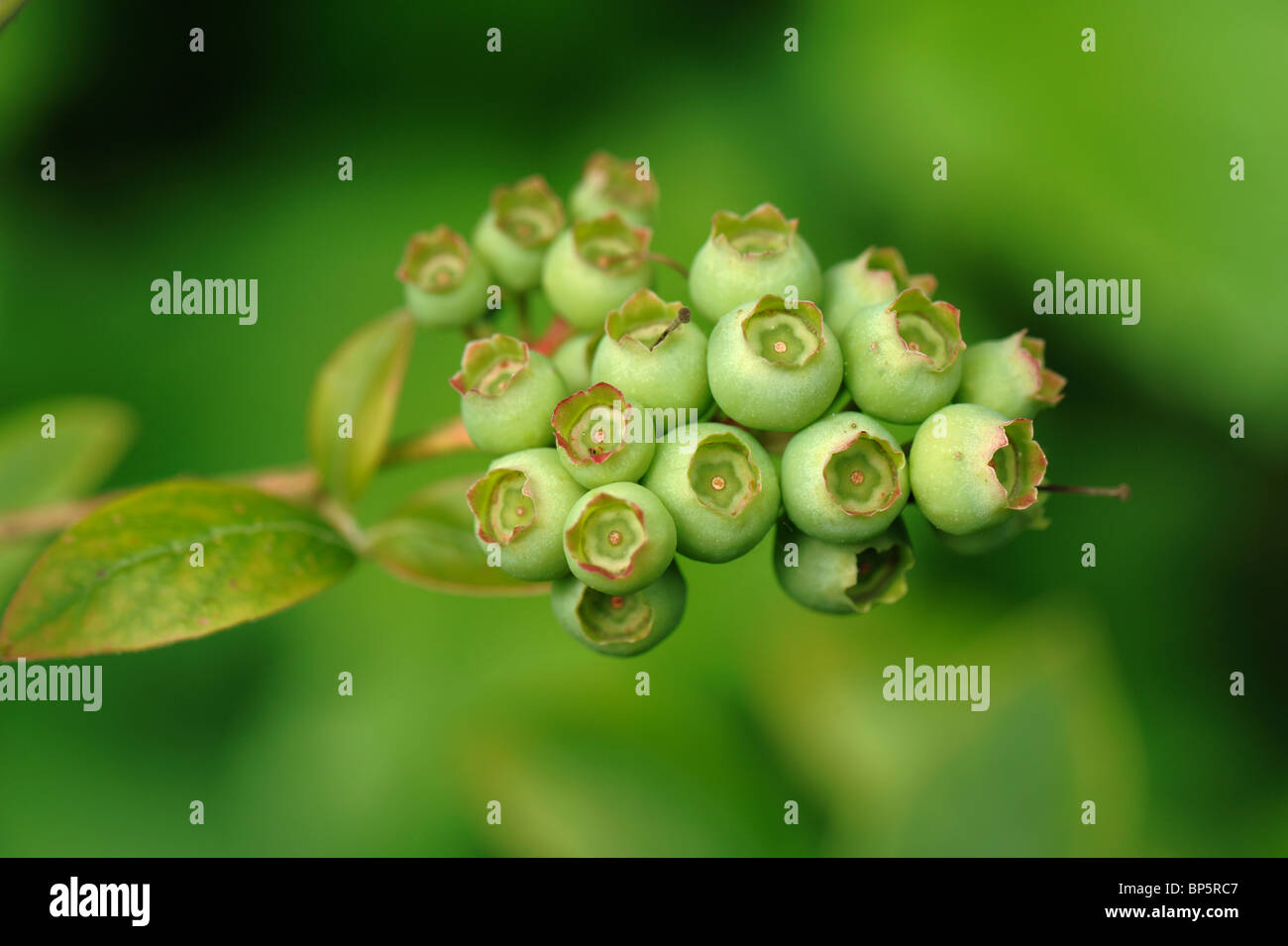Green unripe blueberry berries on the bush - Stock Image
