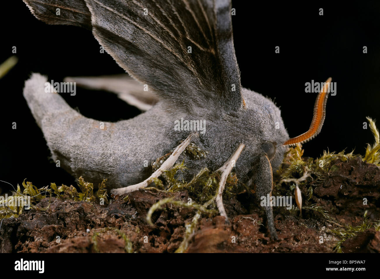 Poplar Hawkmoth, Laothoe populi - Stock Image