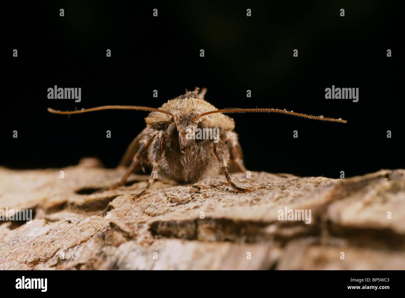 Setaceous Hebrew Character, Xestia c nigrum moth - Stock Image