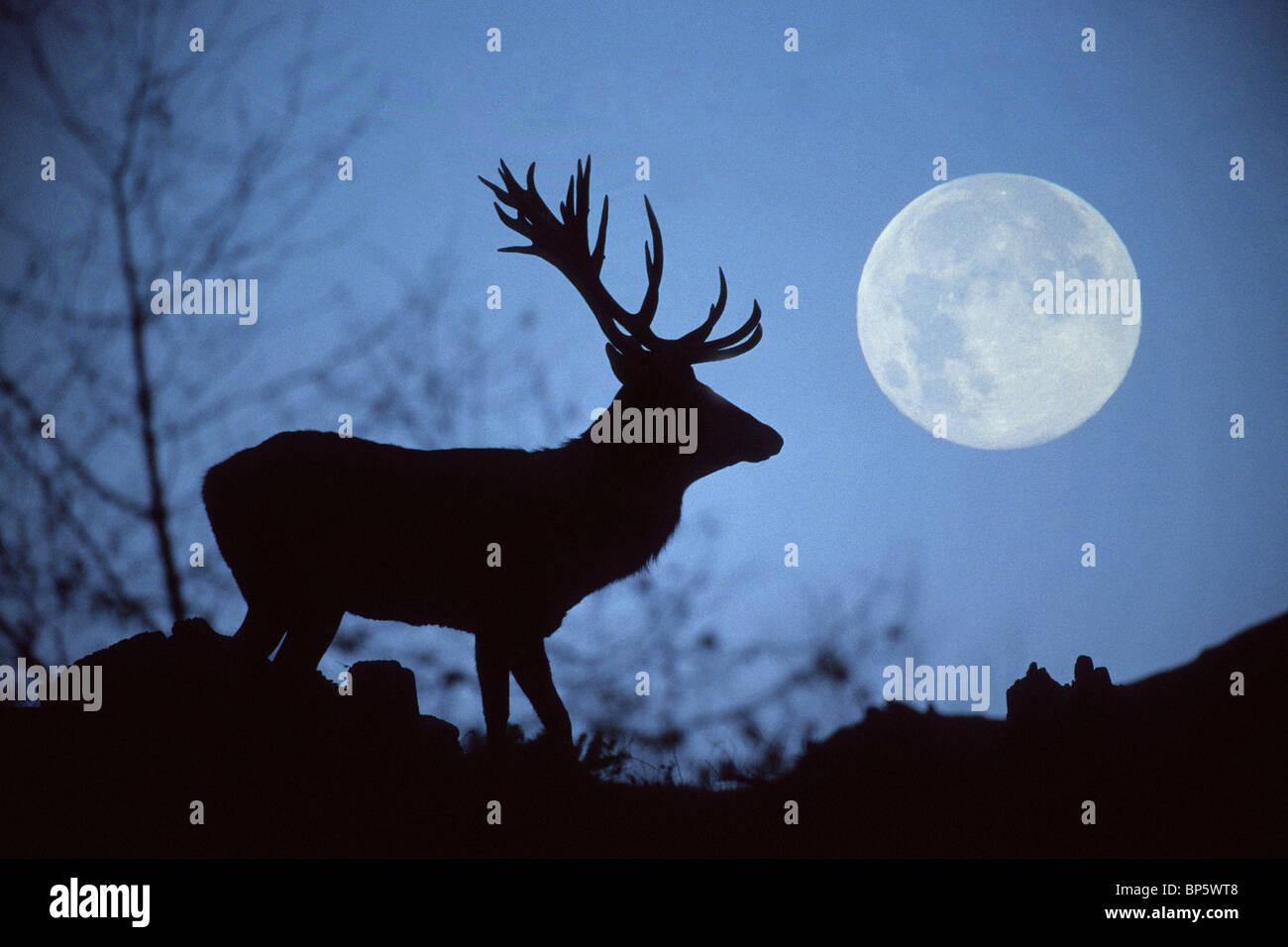 AR80H6 European Red Deer, Rothirsch Cervus elaphus, Europe Stock Photo