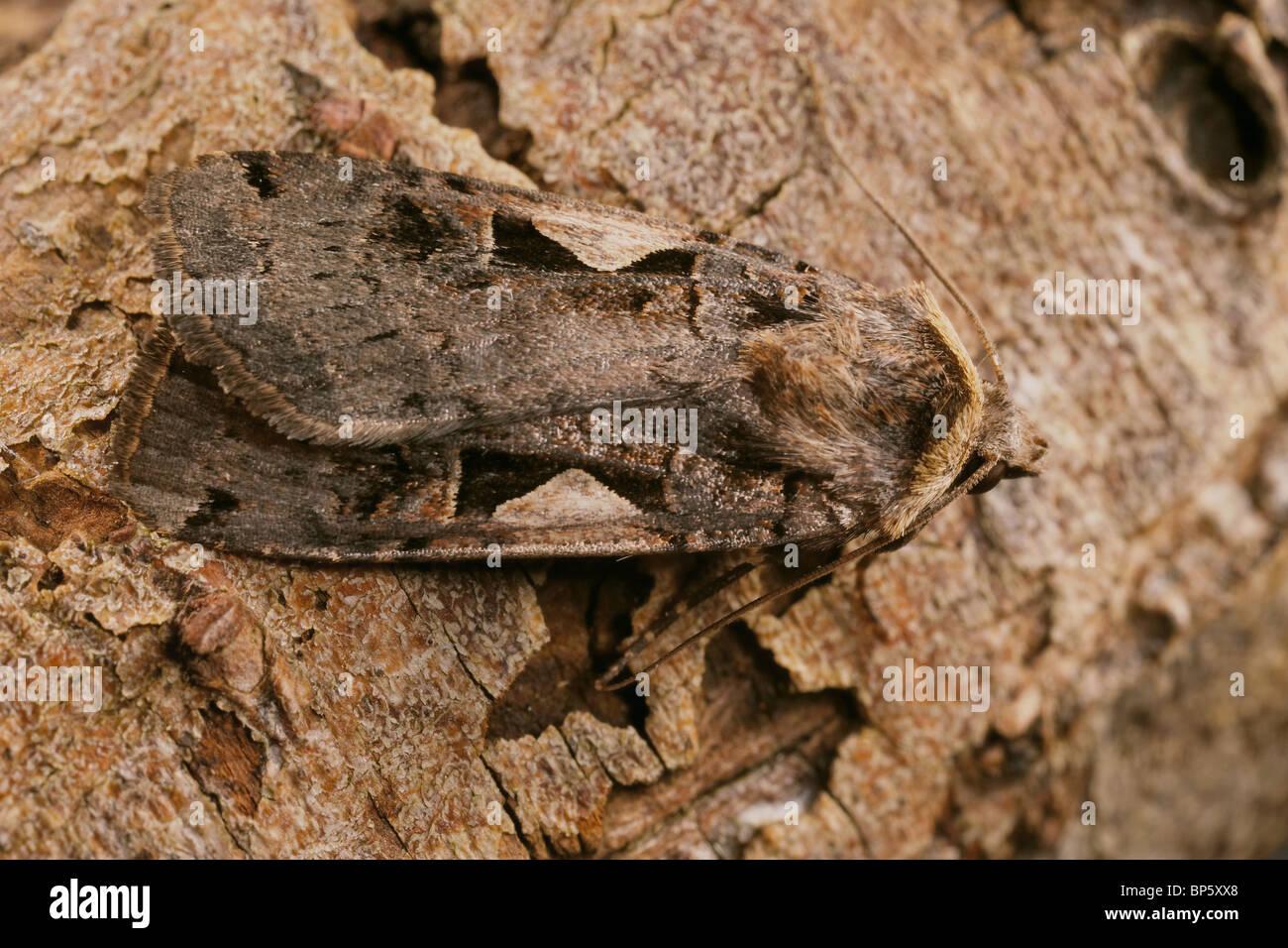 Setaceous Hebrew Character, Xestia c nigrum moth, UK - Stock Image