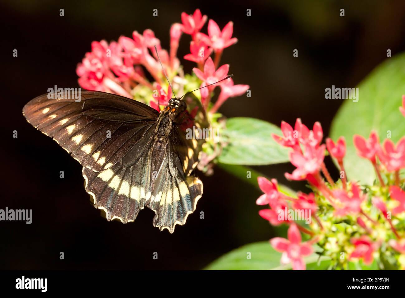 Bộ sưu tập cánh vẩy 6 - Page 19 White-spotted-commodore-butterfly-precis-limnoria-BP5YJN