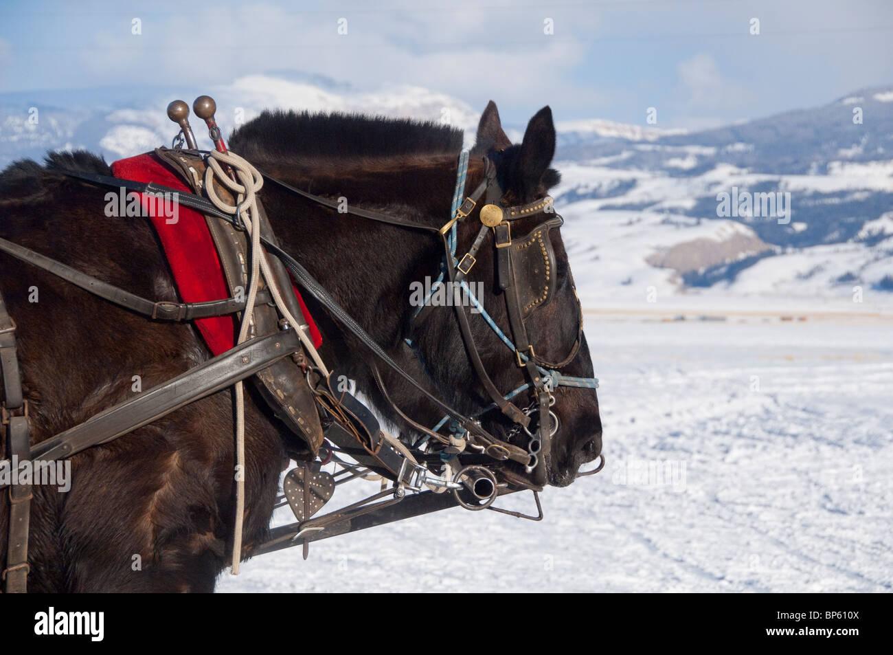 USA, Wyoming, Jackson Hole. National Elk Refuge in winter. Black draft horse team that pull winter sleigh. - Stock Image