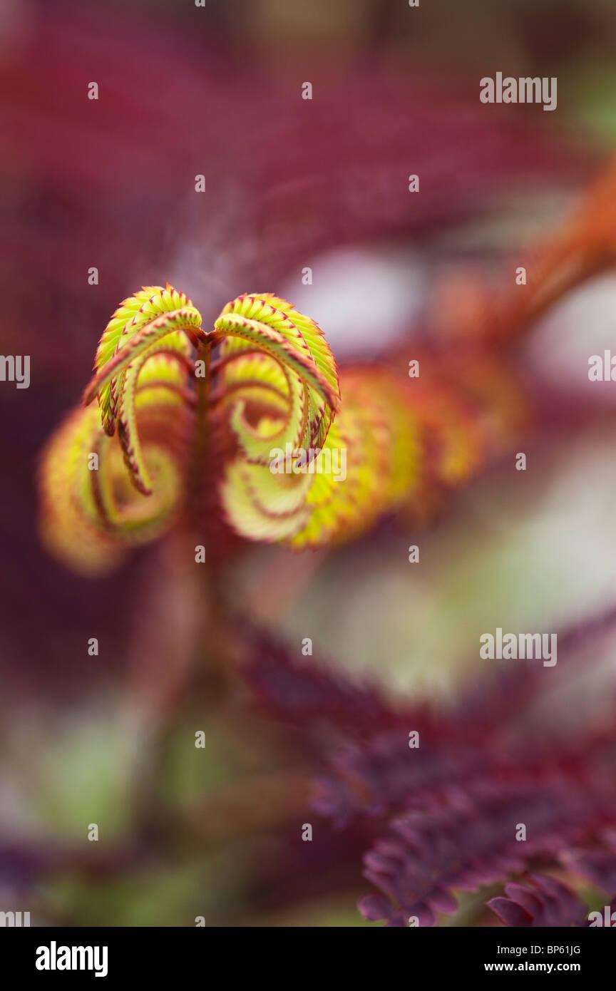 Albizia julibrissin 'Summer Chocolate' tree. Purple-leaf Mimosa Tree leaves. UK - Stock Image