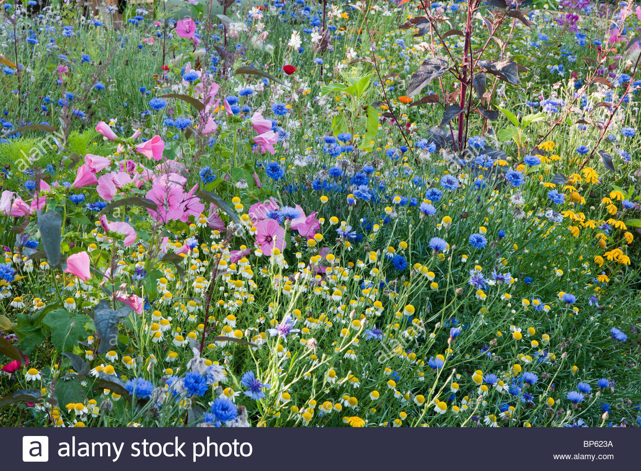 colourful annual wildflower seed mixture - Stock Image