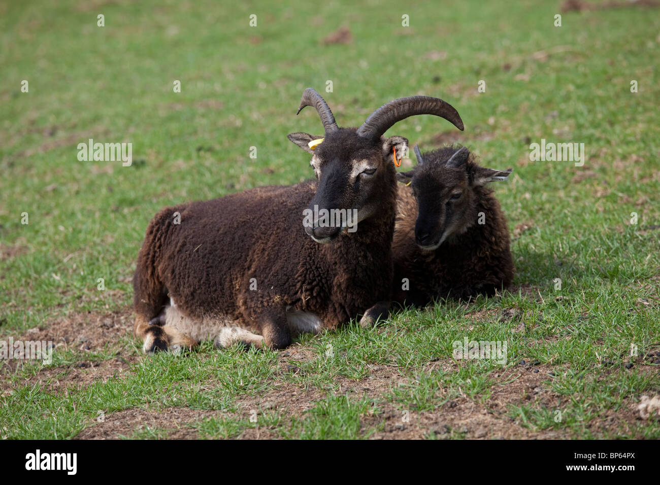 Soay sheep ewe and lamb Cotswold Farm Park Temple Guiting UK - Stock Image