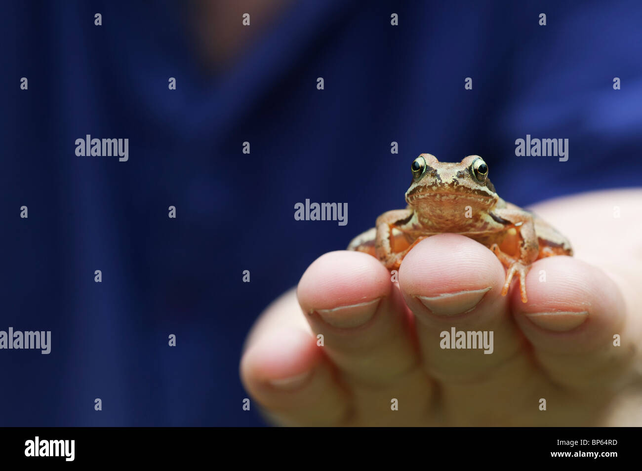 Rana Temporaria. Common garden Frog sitting on a mans hand - Stock Image