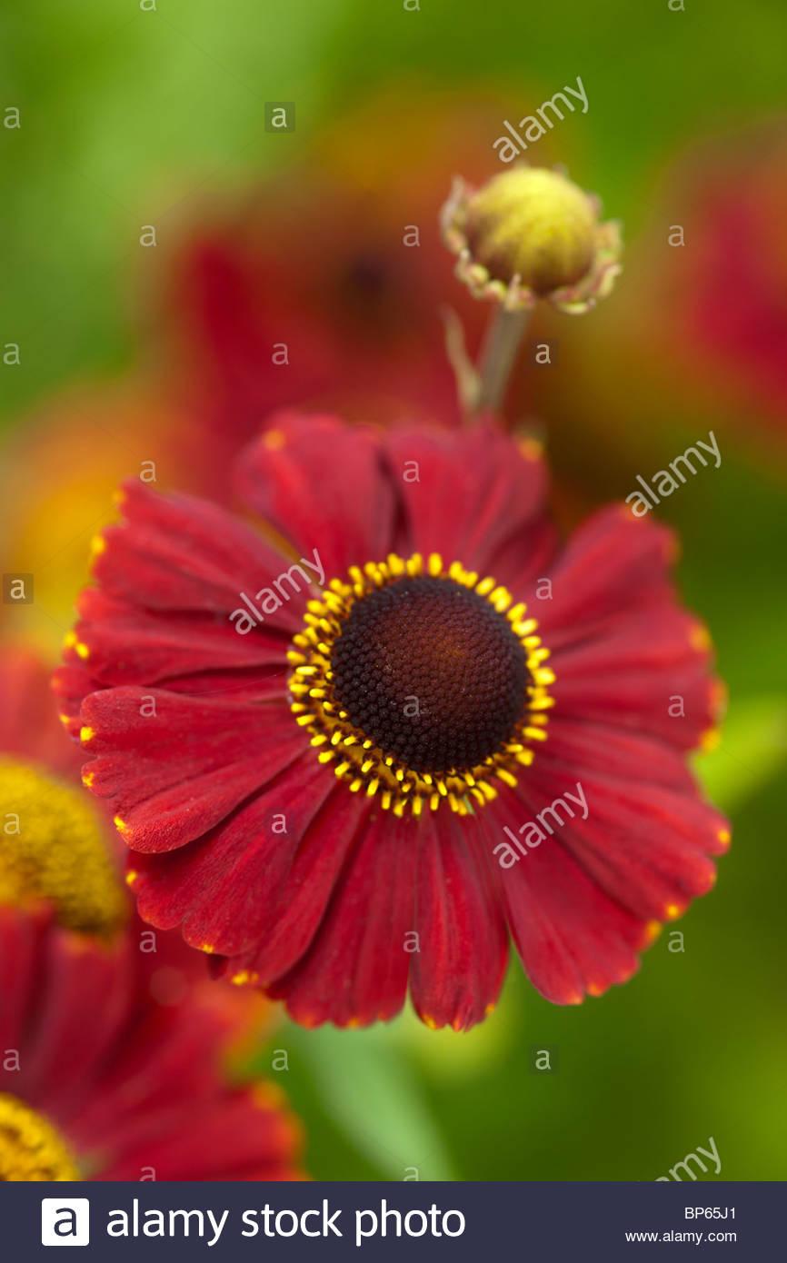 common sneezeweed Helenium autumnale Red Jewel summer flower perennial July yellow orange red garden plant - Stock Image