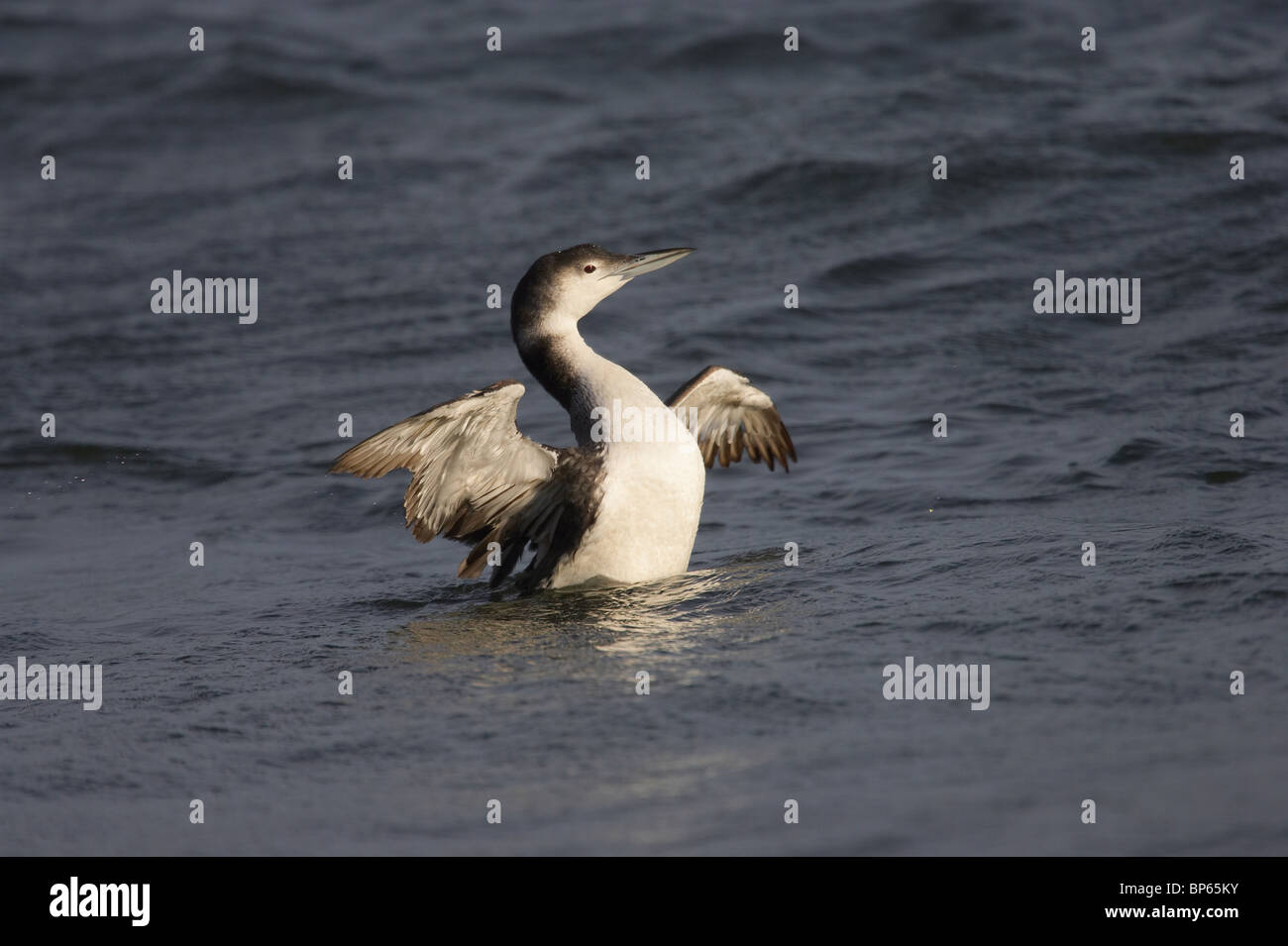 Common Loon in Non-breeding Plumage Beating Its Wings in the Water - Stock Image