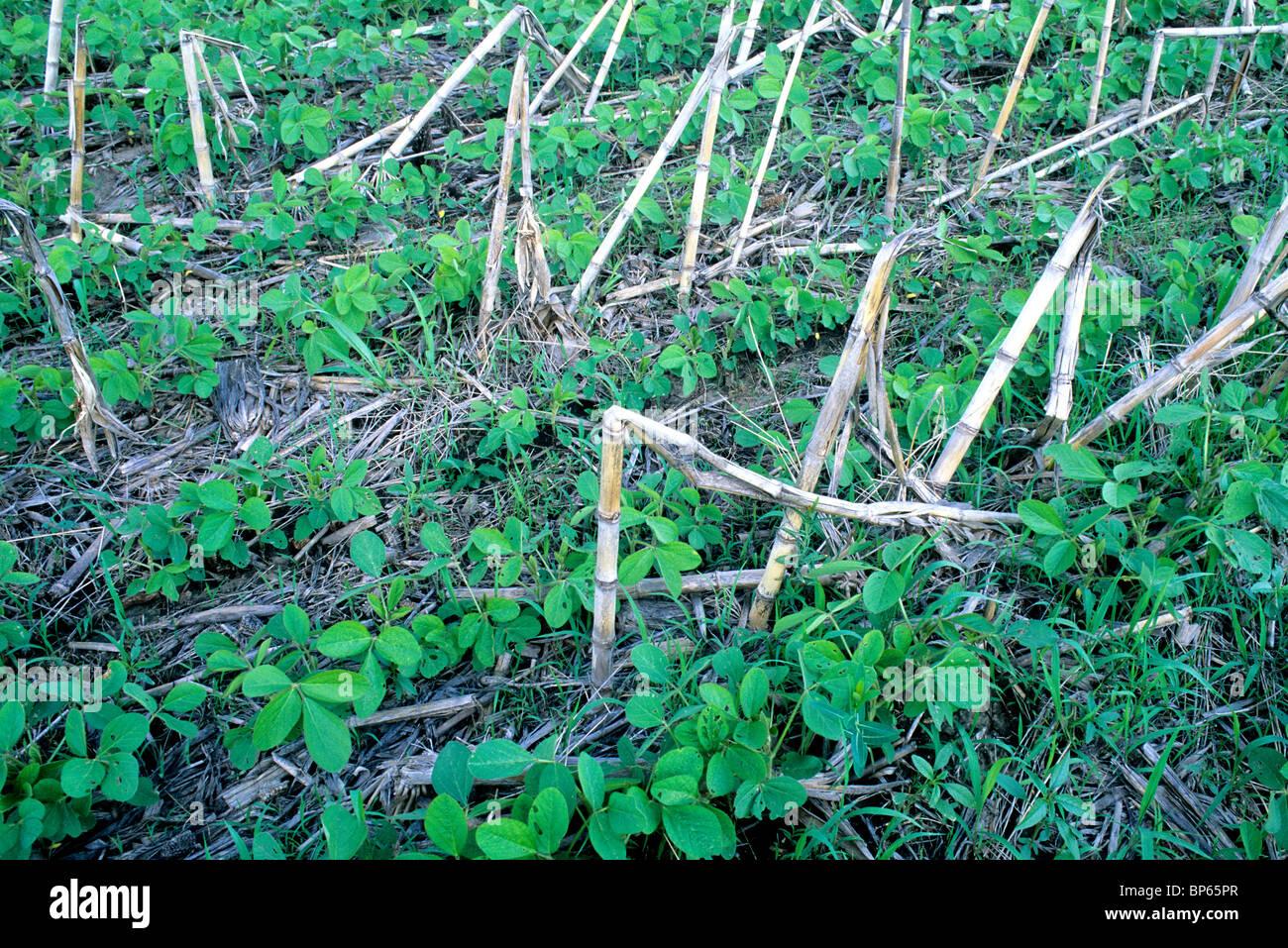 Soybean 'No Till' field, - Stock Image