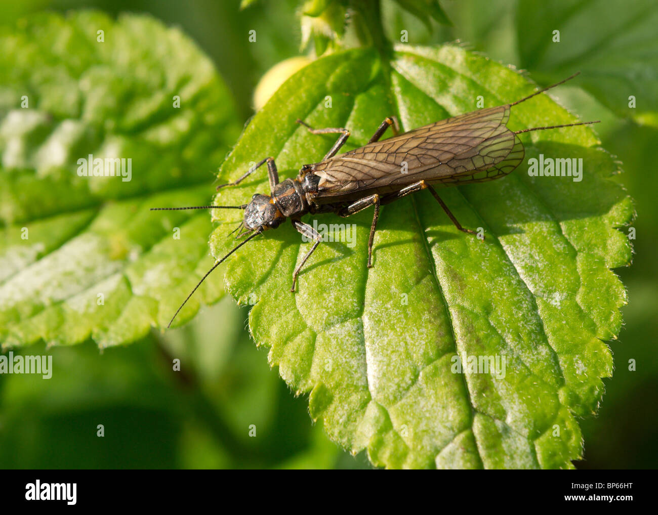 Stonefly, Perlodes microcephala, photographed at the River Brock in Lancashire Insect wildlife nature - Stock Image