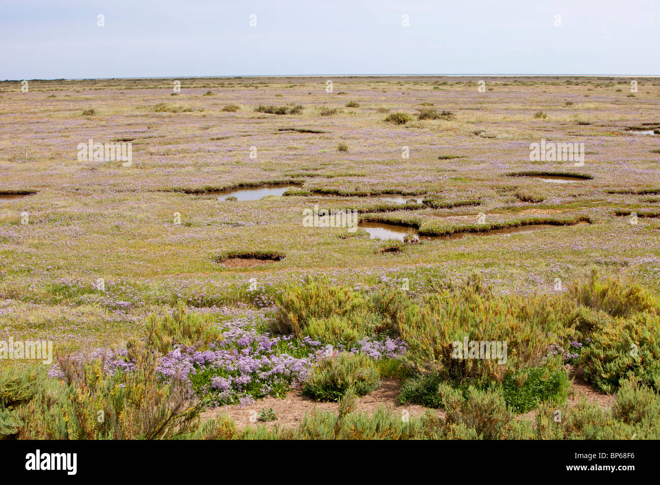 Sea Lavender or statice growing on salt marsh near Wells Next the Sea, Norfolk, UK. - Stock Image