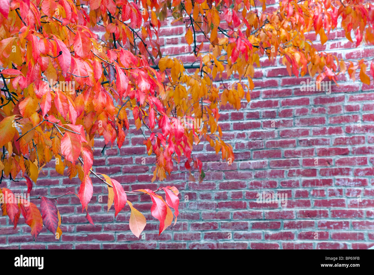 Fall color next to brick building. Jacksonville, Oregon - Stock Image