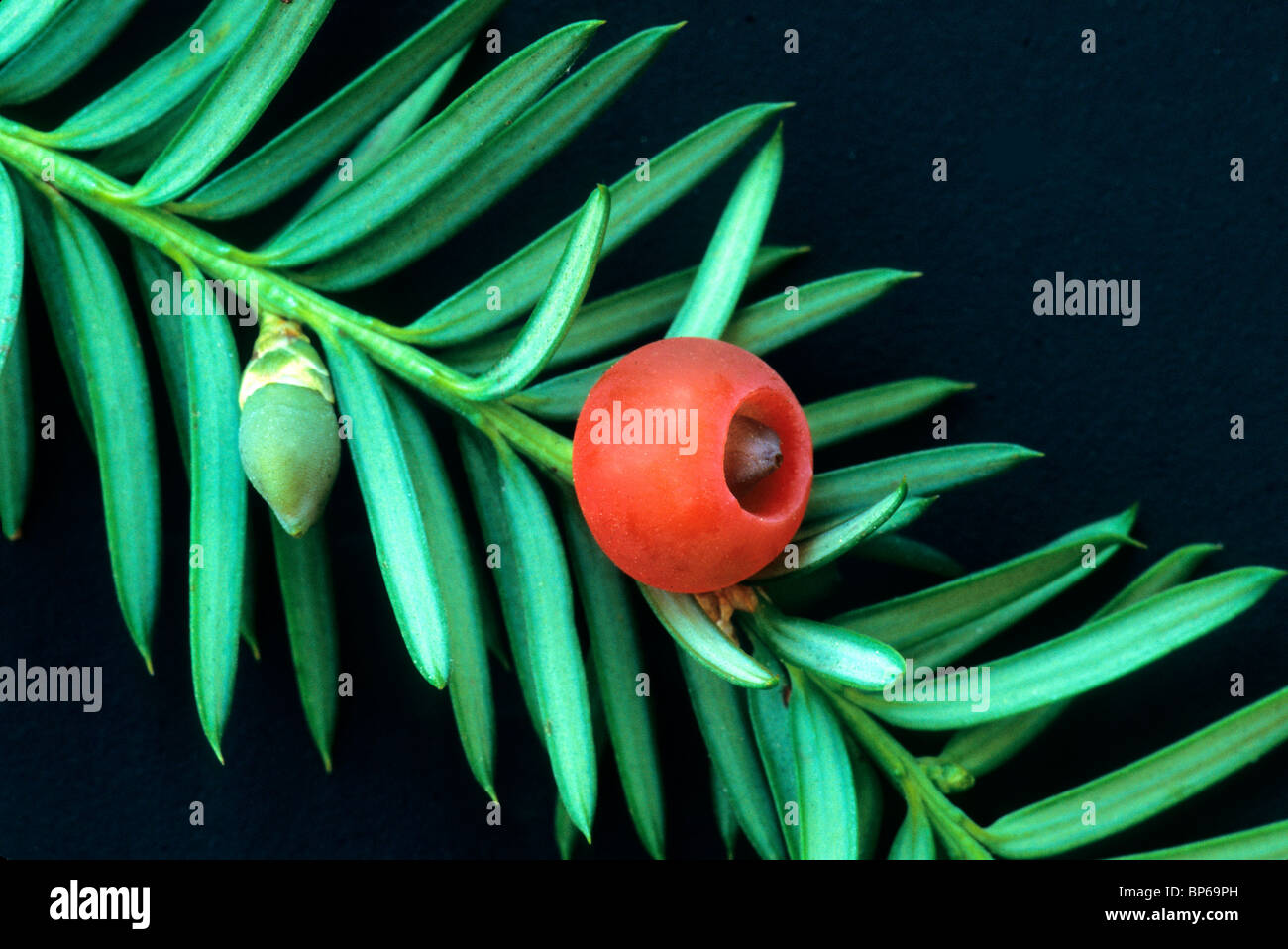 Elliptical seed, male flower Pacific Yew branch. - Stock Image