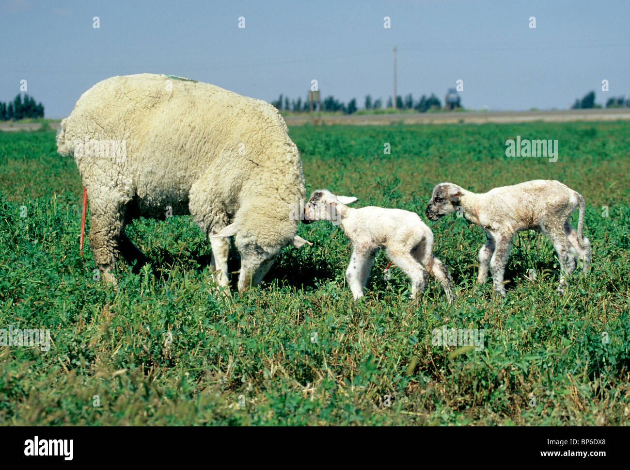 Ewe with two newborn lambs, afterbirth attached, - Stock Image