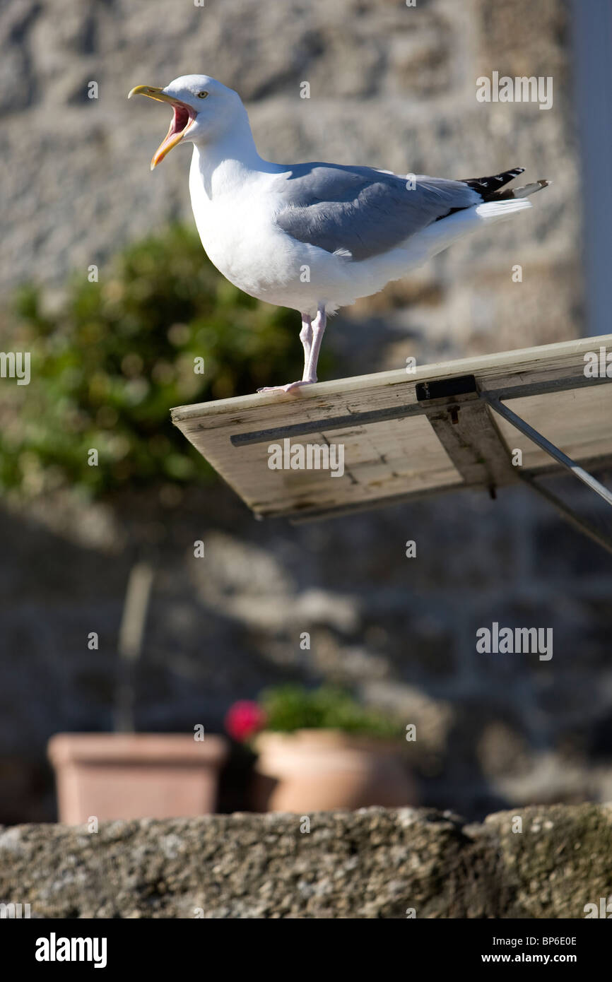 A squawking seagul in Mousehole, Cornwall Stock Photo
