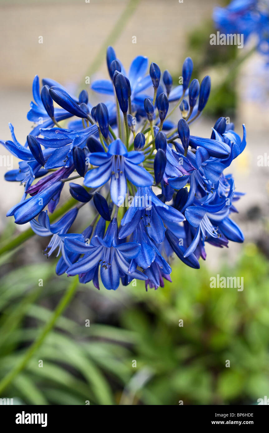 Blue Agapanthus Northern Star flowering in August - Stock Image