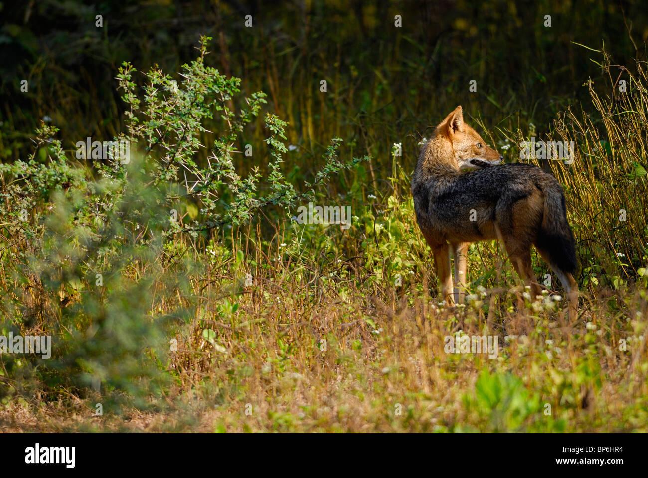 Indian Jackal Canis aureus Stock Photo