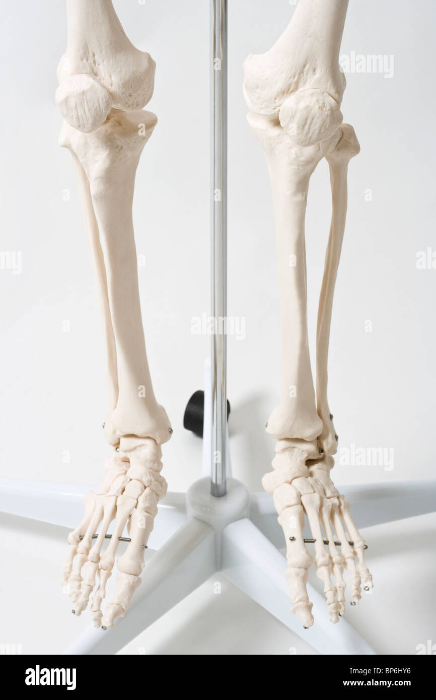 Low section of a hanging anatomical skeleton model Stock Photo ...