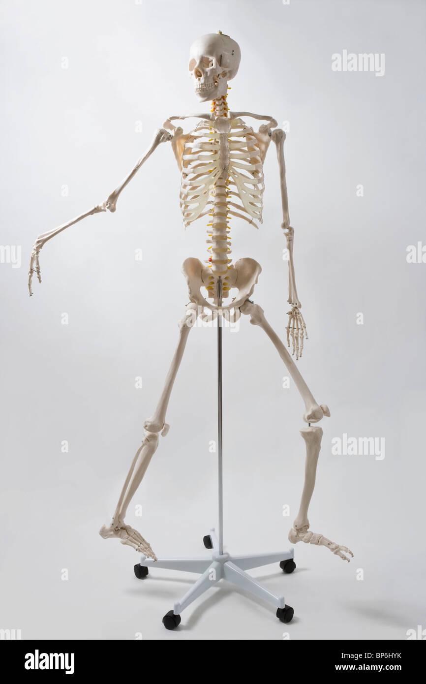 Skeleton Model Stock Photos & Skeleton Model Stock Images - Alamy