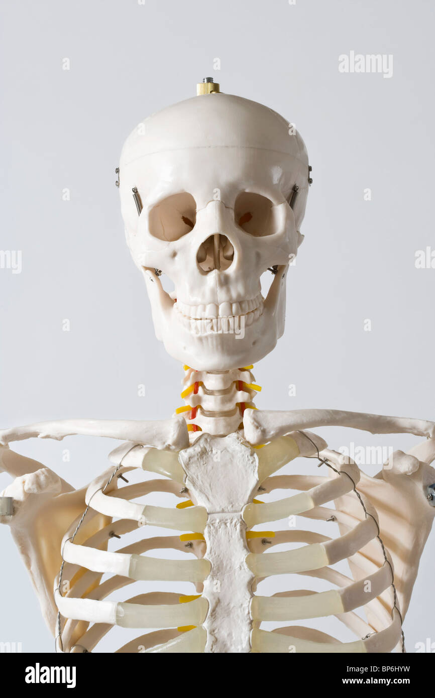 Head And Shoulders Of An Anatomical Skeleton Model Stock Photo